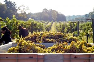 ღვინის ეროვნული სააგენტო – კახეთში 18.6 ათასი ტონა ყურძენია გადამუშავებული