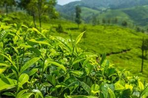 იმერეთში ბიო ჩაის საწარმო აშენდება