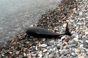 ბოლო 5 დღეში ბათუმში ზღვამ 2 მკვდარი დელფინი გამორიყა