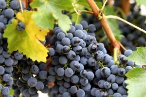 კახეთში ღვინის კომპანიები საფერავში 2.30 ლარს იხდიან