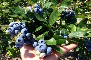 გურიაში ლურჯი მოცვის ახალი ბაღი გაშენდა