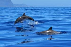 დელფინები მეგობრებს სტვენით ცნობენ