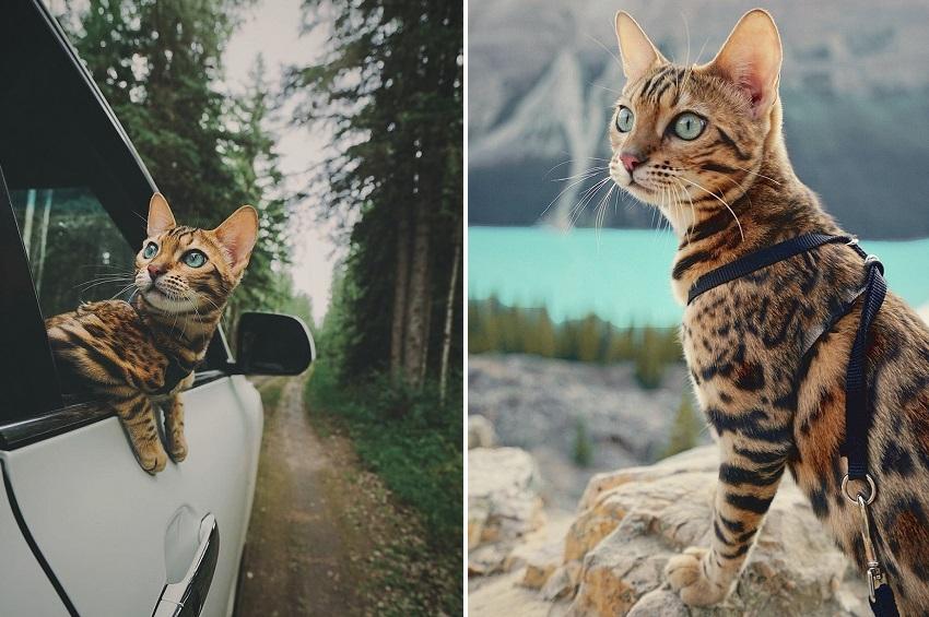 სუკი - პლანეტის ყველაზე ცნობილი მოგზაური კატა