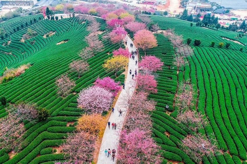 ალუბლის ყვავილობა ჩინეთში