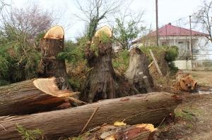 ივანიშვილის პარკში ასწლოვანი ხის გადასატანად ქობულეთში 50 ხე მოჭრეს