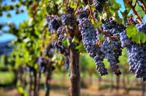 18 სექტემბრის მონაცემებით, კახეთში 92 ათას ტონამდე ყურძენია გადამუშავებული