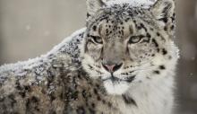 თოვლის ლეოპარდი საფრთხეში მყოფ სახეობად აღარ ითვლება