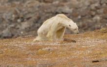 გლობალური დათბობის პირობებში განწირული თეთრი დათვი კანადის კუნძულზე