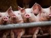 სომხეთმა რუსეთიდან ღორისა და ფრინველის ხორცის შეტანა დროებით შეაჩერა