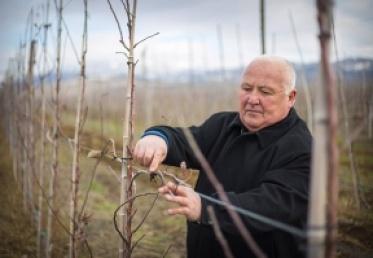 საოკუპაციო ხაზთან 12 ჰექტარზე ვაშლის ბაღი გაშენდა