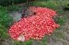 ზუგდიდში ფერმერს 4 ტონა პომიდორი გაუფუჭდა