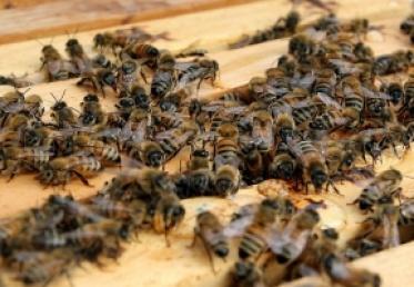 ზუგდიდში ფუტკრის დაცემა ფაროსანას წინააღმდეგ წამლობას არ გამოუწვევია – სააგენტო