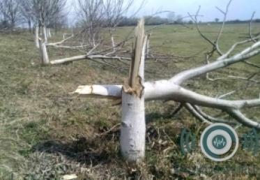 მარნეულში ფერმერს 30 ძირი კაკლის ხე გაჩეხილი დახვდა