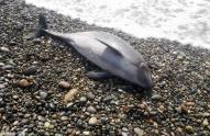 საქართველოს შავი ზღვის სანაპიროზე ზღვამ 57 დელფინი გამორიყა